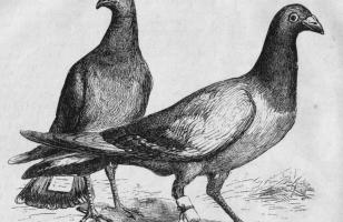 Pigeon_Messengers